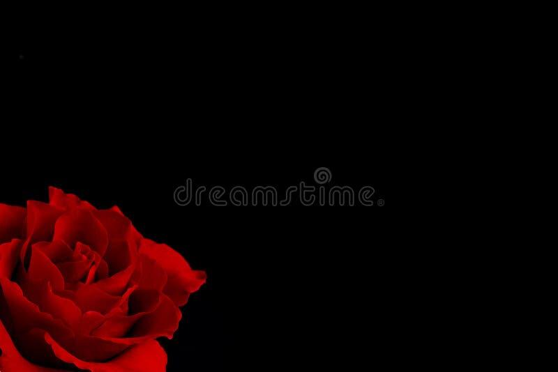 Enkel blommande röd ros royaltyfri foto