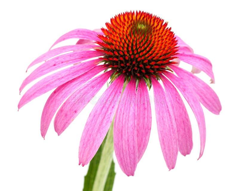 Enkel blomning för Coneflower Echinaceapurpurea med kronblad som tillbaka förläggas fritt, slut royaltyfria foton