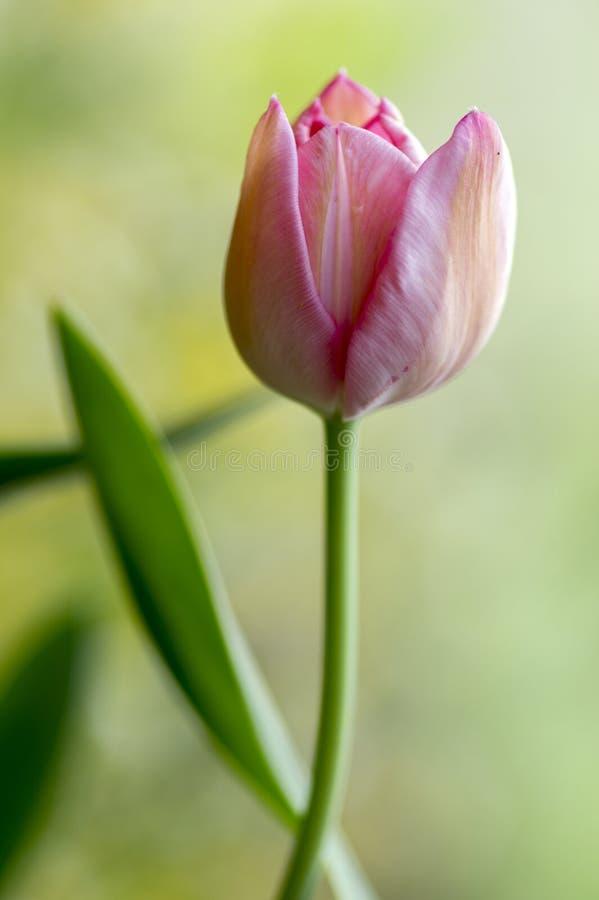 Enkel ensam gemensam härlig rosa tulpan med gröna sidor i trädgård för vårtid i blom som blommar vårväxten fotografering för bildbyråer