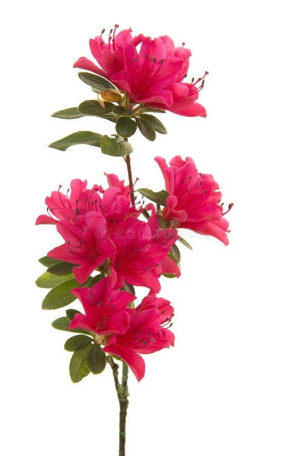 Enkel filial med blosseming blommor för rosa färger i en vertikal bild fotografering för bildbyråer