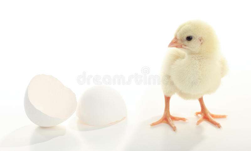 Enkel geboren de kip van de baby