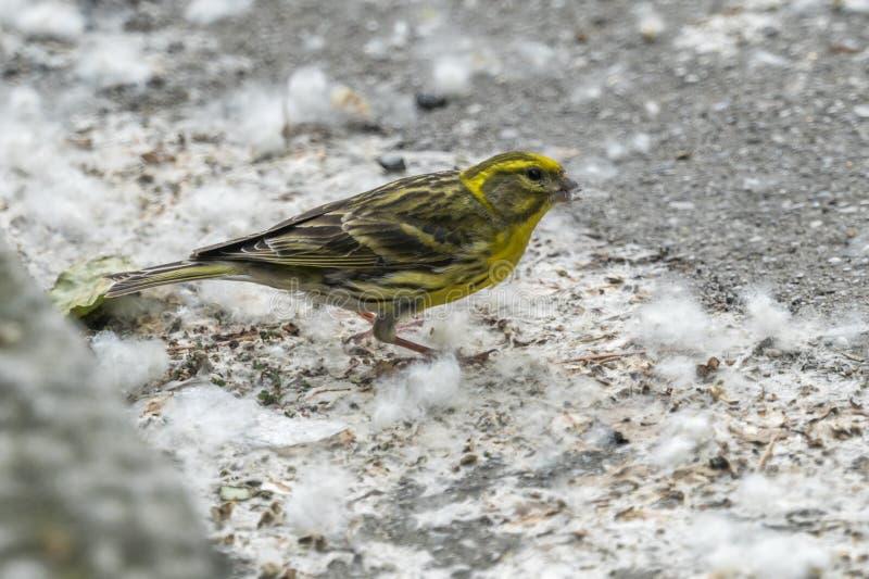 Enkel geboren de vogel van Serinusserinus stock foto's