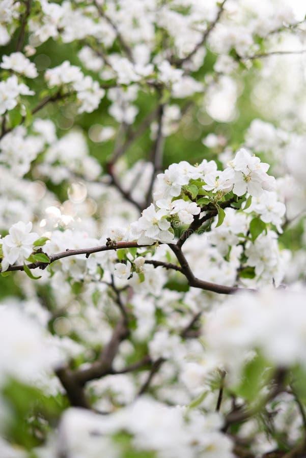 enkel Geregend De mooie bloeiende takken van de appelboom in onduidelijk beeld met bokeh stock afbeeldingen
