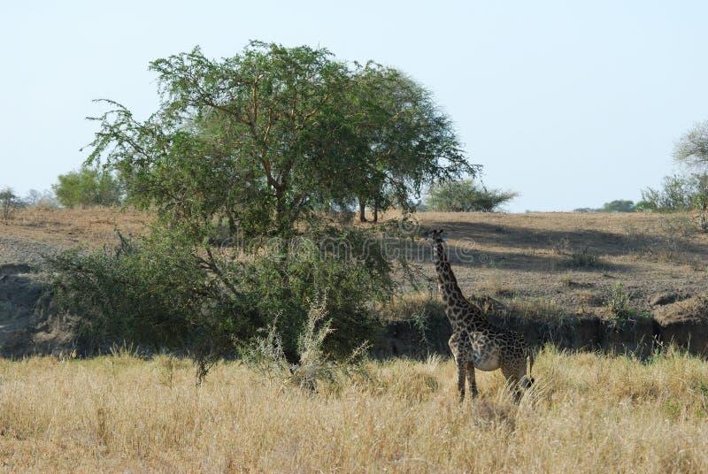 Enkel giraff, Tarangire nationalpark, Tanzania arkivbild