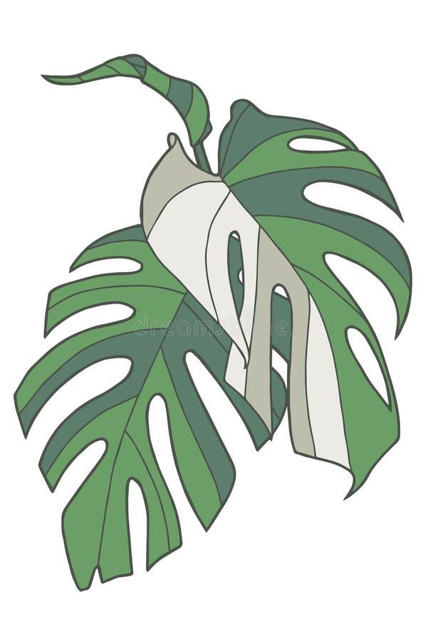 Enkel grafisk vektorillustrationteckning av tropiska för Windowleaf Monstera Deliciosa Variegata för schweizisk ost sidor växt vektor illustrationer