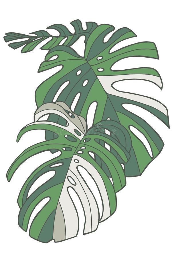 Enkel grafisk vektorillustrationteckning av tropiska för Windowleaf Monstera Deliciosa Variegata för schweizisk ost sidor växt royaltyfri illustrationer