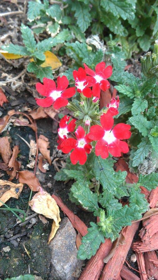 Enkel grupp av röda blommor fotografering för bildbyråer