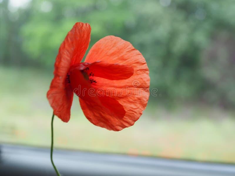 Enkel härlig blommande röd vallmoblomma i sommar arkivfoto