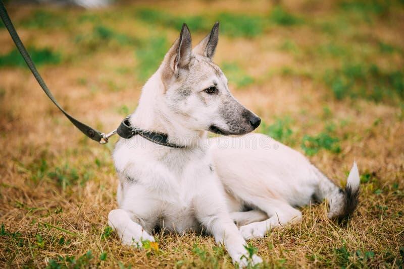 Enkel härlig ung hund för ryssLaika valp royaltyfria foton
