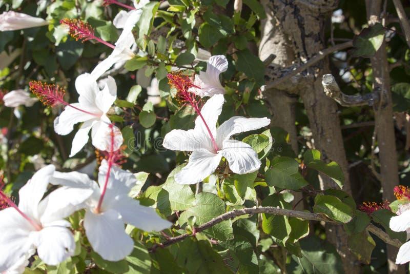 Enkel hibiskus för mer wilders vit hawaiansk hibiskusarnottianus med rosa stamens royaltyfri foto