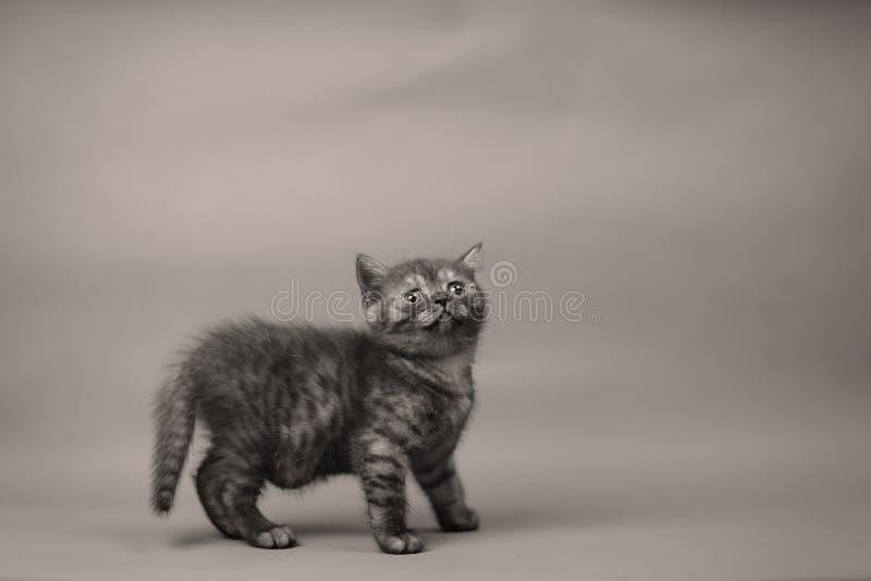Enkel kattunge på en vit backgruond, copyspace royaltyfri bild