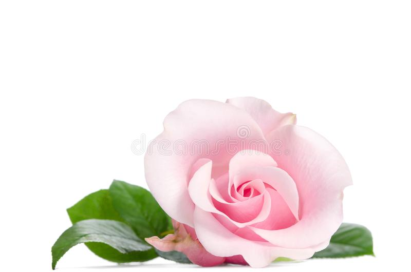 Enkel knopp av rosa färgrosen arkivbild