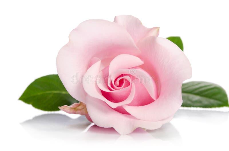 Enkel knopp av rosa färgrosen royaltyfri fotografi