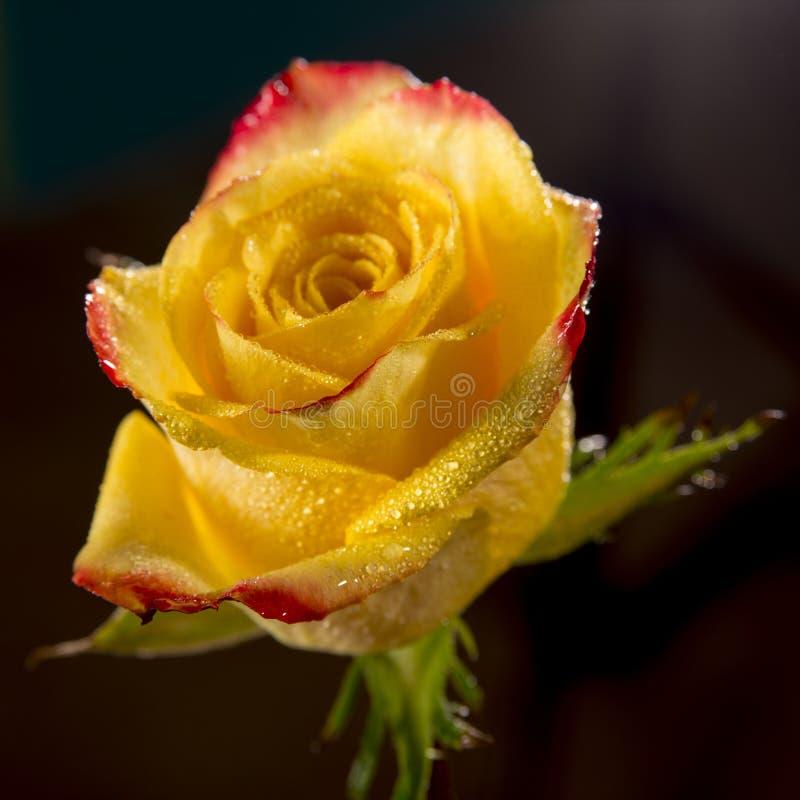 Enkel ljus våt gulingros med röda kanter av kronblad, mycket skinande vattensmå droppar på blomman och mörkerbakgrund arkivfoton