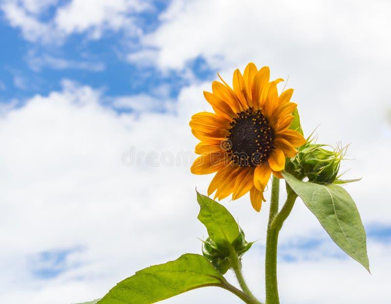 Enkel ljus vibrerande gul solrosblomning och en knoppuppsättning mot blå himmel med vita moln royaltyfria bilder