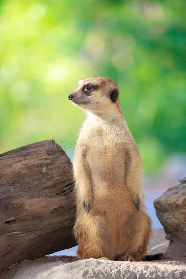 enkel meerkat royaltyfri foto