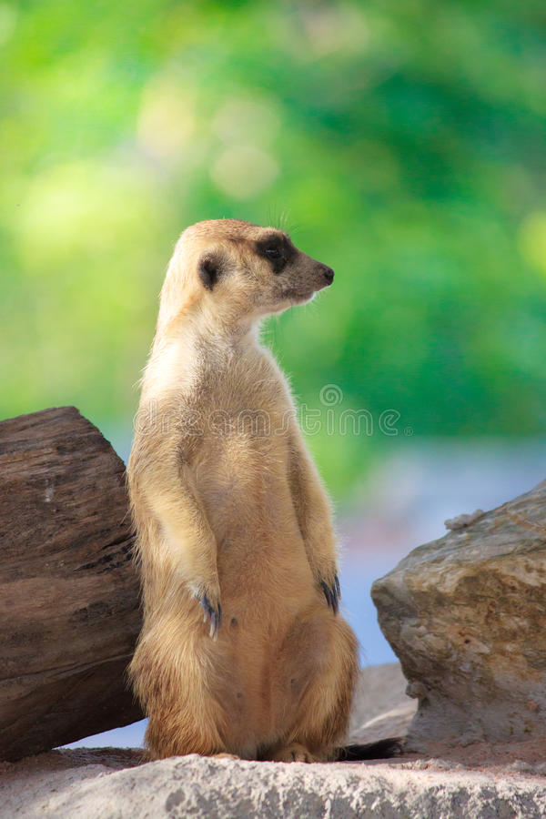 enkel meerkat royaltyfria bilder