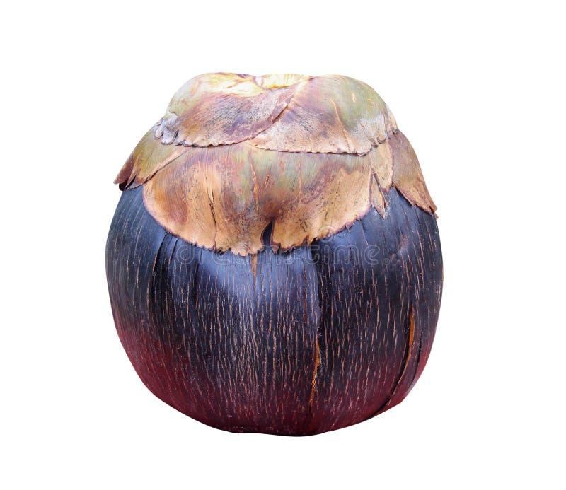 Enkel mogen palmyra att gömma i handflatan frukt- eller borassusflabellifer som isoleras på vit bakgrund med urklippbanan som är  royaltyfri bild