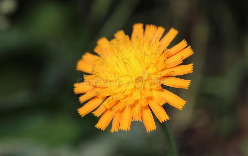 Enkel orange Hawkweed royaltyfria foton