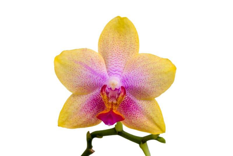 Enkel orkidéblomning med gula kronblad som isoleras på vit bakgrund arkivbilder