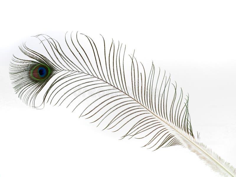 Enkel påfågelfjäder som isoleras på vit bakgrund arkivbilder