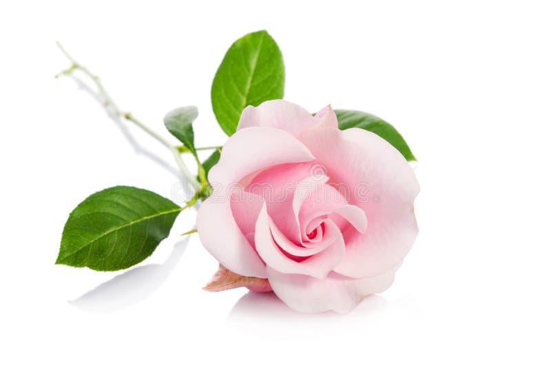 enkel pinkrose royaltyfri foto