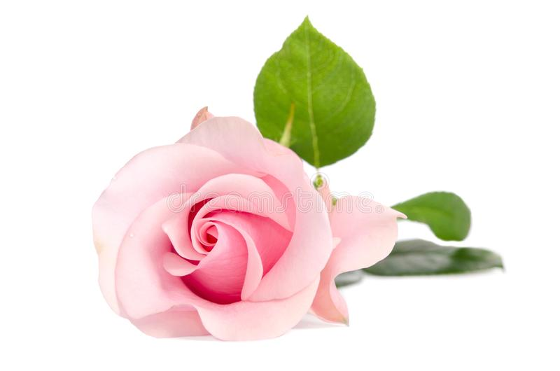 enkel pinkrose royaltyfri fotografi