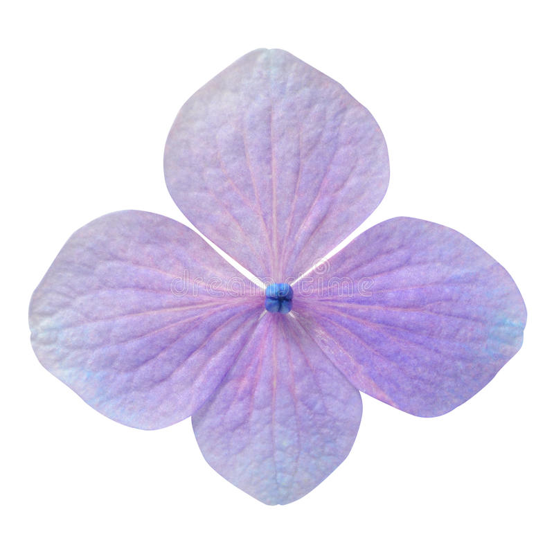Enkel purpurfärgad isolerad vanlig hortensiablomma arkivfoto