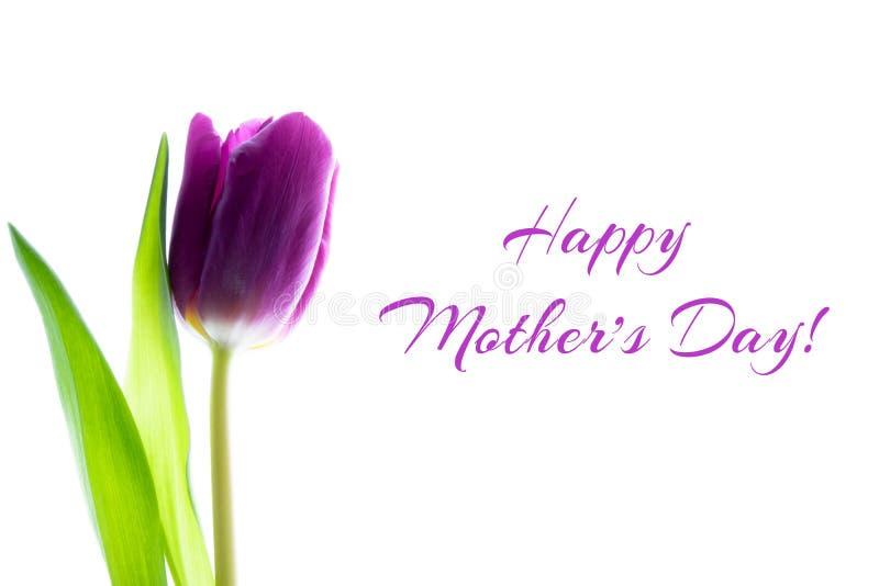 Enkel purpurfärgad violett tulpanblomma på vit bakgrund Lyckligt kort f?r h?lsning f?r dag f?r moder` s royaltyfria foton