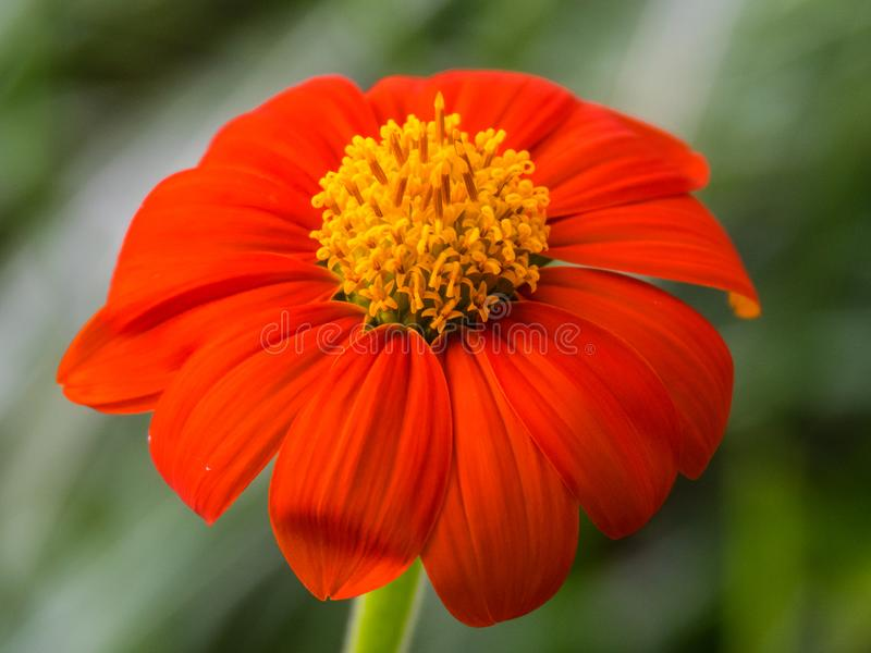 Enkel röd och gul blomning för mexicansk solros med naturlig grön bakgrund royaltyfri foto