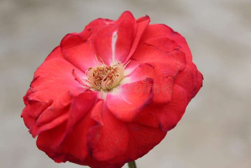 Enkel röd ros för härlig colse-up med suddighetsbakgrund royaltyfri foto