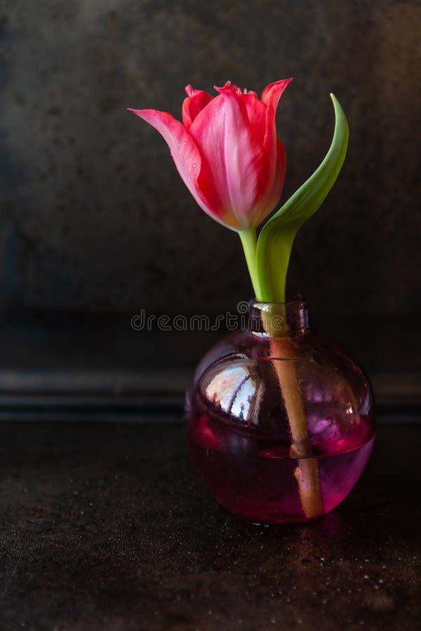 Enkel röd tulpan i en vas royaltyfria foton