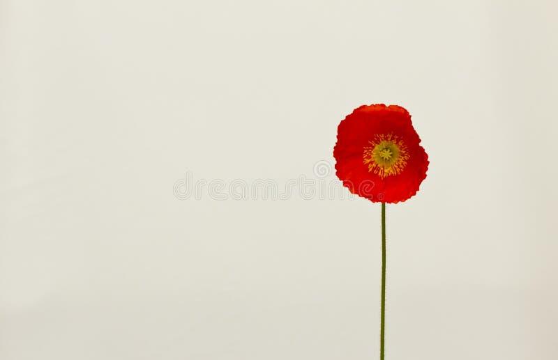 Enkel röd vallmo   arkivfoto