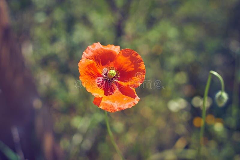 Enkel röd vallmoblomma i blomman för fältvallmo sammanlagt dess glans arkivbild