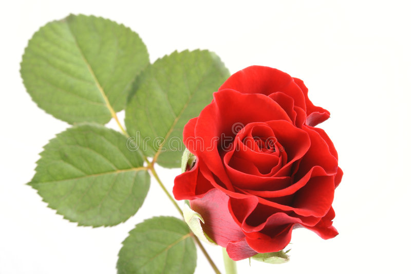 enkel redrose royaltyfri bild