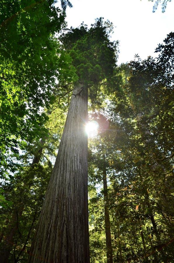Enkel redwoodträd med sunen som igenom maximal. arkivfoton
