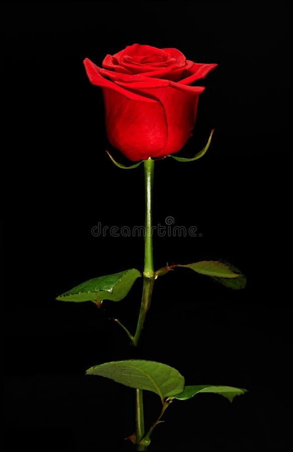 Enkel romantisk röd ros arkivbilder