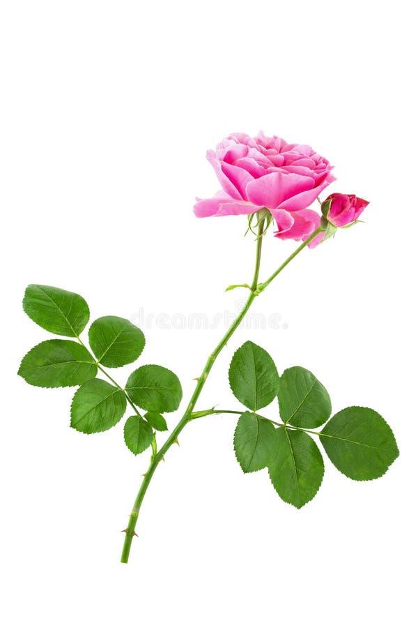 Enkel rosa rosa blomma på stammen med gröna sidor som isoleras på vit bakgrund royaltyfri fotografi