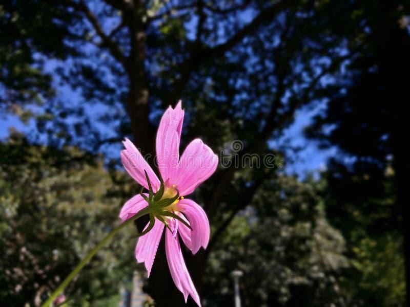 Enkel rosa Cosmo blomma som vänder mot solljuset i en skog arkivbilder