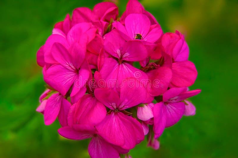 Enkel rosa färgblommadahlia på grön bakgrund Close- royaltyfria bilder