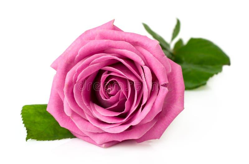 Enkel rosa färgros arkivbild