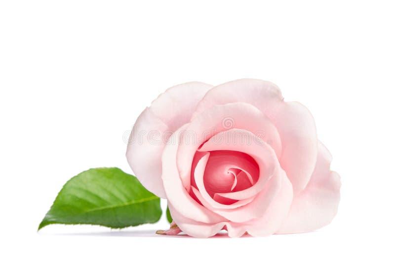 Enkel rosa färgros för skönhet royaltyfri fotografi