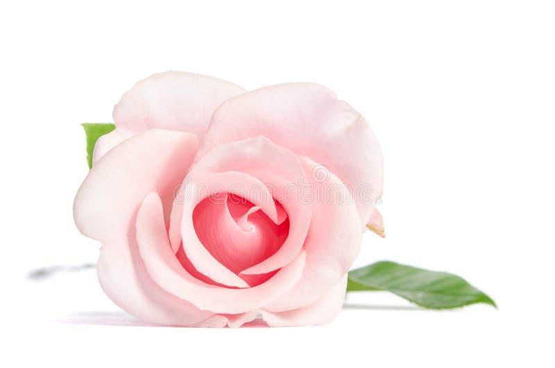 Enkel rosa färgros för skönhet royaltyfri bild