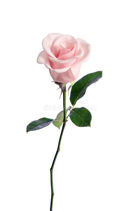 Enkel rosa färgros för skönhet arkivbild