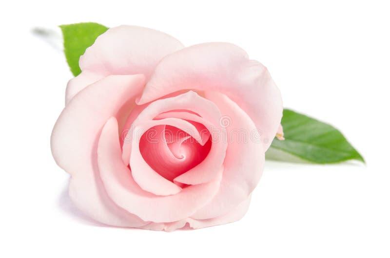 Enkel rosa färgros för skönhet royaltyfria foton
