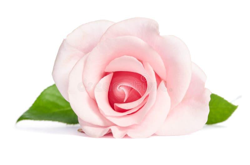 Enkel rosa färgros för skönhet på vit bakgrund arkivbild