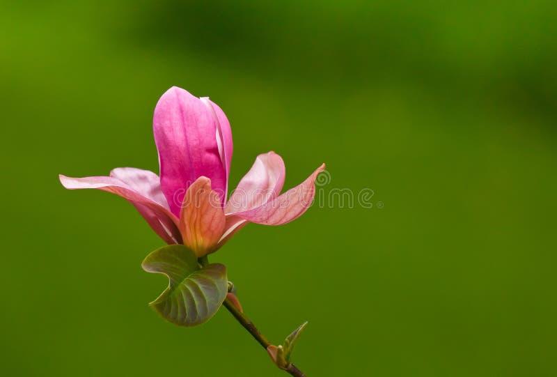 Enkel rosa magnoliablomma som blommar i skogen arkivbilder