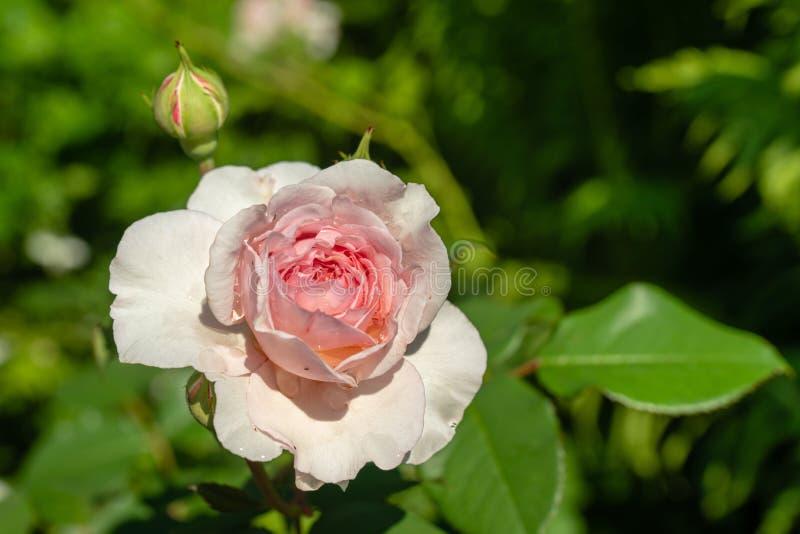 Enkel rosa ros med morgondagg i ljust solsken royaltyfri fotografi