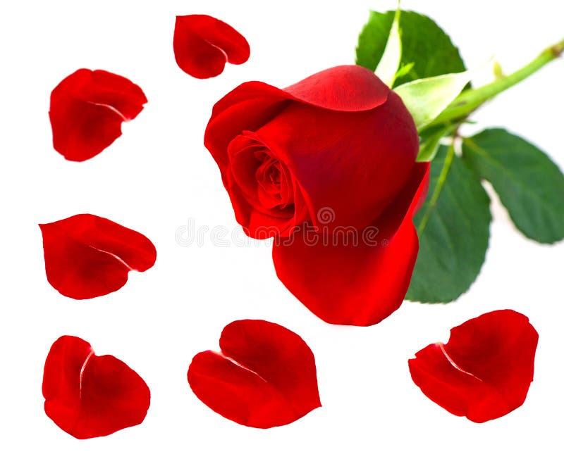 enkel rose för blommapetalsred royaltyfri fotografi
