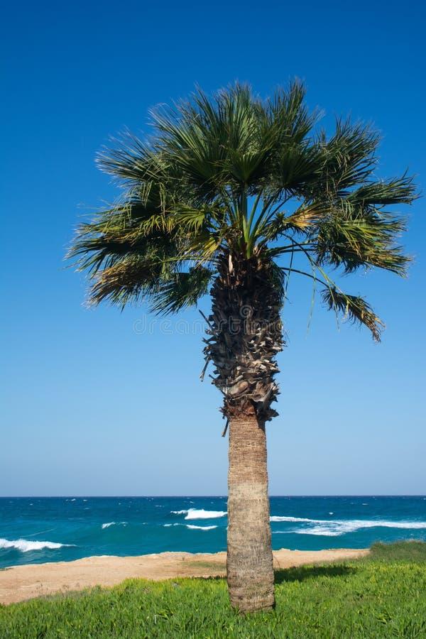 Enkel sabalpalmträd på bakgrunden av blå himmel och det krabba havet arkivfoton